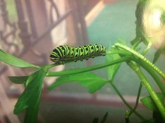 Let me tell you about this catapillar,he is one of 6 that made there home on my parsley plant,isn't he cute  and I love the colors.look at the next pin