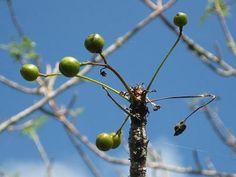 Fruto de Bursera Graveolens, Palo Santo
