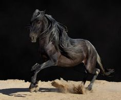 The ancient horse breed- Barb