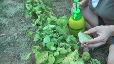 Αντιμετώπιση του τετράνυχου με βιολογικό τρόπο Gardening Tips, Planters, Vegetables, Vegetable Recipes, Plant, Window Boxes, Veggies, Pot Holders, Flower Planters