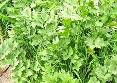 Libeček Healing Herbs, Korn, Fitness, Syrup, Medicinal Plants, Herbal Medicine