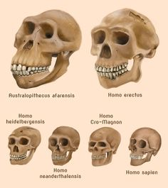 Human evolution skulls by amircea.deviantart.com on @deviantART