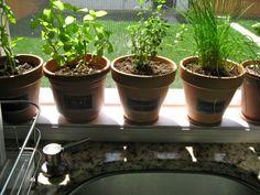 herbs in the window