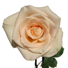 61e5a515a50a Timeless - Standard Rose - Roses - Flowers by category