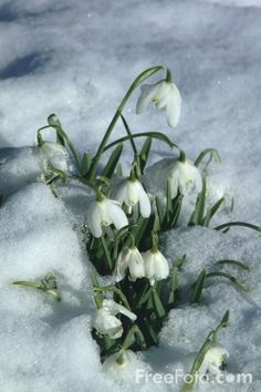 snow drops, Lily of the Valley are one of my favorites