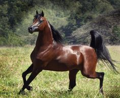 ARABIAN HORSE There is the defined head - then there's that tail! Description from pinterest.com. I searched for this on bing.com/images