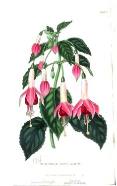 Fuchsia in The British florist; or, Lady's journal of horticulture, Vol 6, 1846.