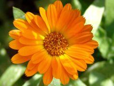 Fleurs comestibles : Profitez de leurs beautés au jardin et dans l'assiette !   Blog Jardin Alsagarden - le magazine des jardiniers curieux