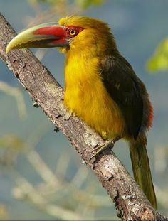 Araçari-banana - Pteroglossus bailloni  www.vocerealmentesabia.com