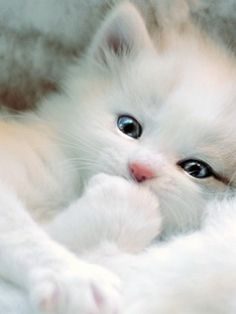 Pure White Persian Kitten