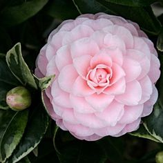 Camellia japonica (the Japanese camellia) is one of the best known species of the genus Camellia. Sometimes called the Rose of winter. Plantipp.eu | Bringing People, Plants and Ideas Together | Camellia japonica 'Kerguelen'PBR http://www.plantipp.eu/en/p/plants/heester/338/Camellia-japonica-KerguelenPBR/