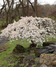 Dwarf Cherry Tree, Weeping Cherry Tree, Cherry Blossom Tree, Dwarf Weeping Trees, Trees For Front Yard, Growing Tree, Small Trees, Natural Forms, White Flowers