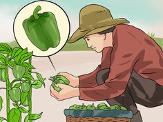 You don't have to be an experienced gardener to grow luscious, vibrant green peppers. All it takes is patience, attention and a little knowledge of the right growing conditions. Green peppers, like most other varieties, thrive in the heat,...