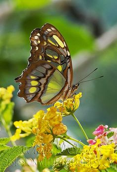 Stained Glass Wings Malachite Butterfly