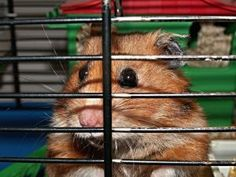 Hamster is a cute pet and we need to ensure its safety and having a cage is also a way of protecting it. Here are some tips in choosing a hamster cage. Hamster Care, Hamster Treats, Class Pet, Hamster Wheel, Hamster House, Happy People, Feeling Happy, Pet Health, Cute Photos
