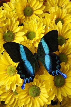 Black And Blue Butterfly - by Garry Gay