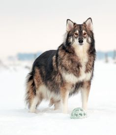 Utonagan:  a breed of dog that resembles a wolf, but in fact is a mix of three breeds of domestic dog: Alaskan Malamute, German Shepherd, and Siberian Husky.