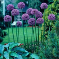 Four Giant Allium 'Gladiator' by Hope Springs Nursery - 4 Flower Bulbs - A Cluster of purple flowers Flower seeds Allium Flowers, Purple Flowers, Kew Gardens, Spring Garden, Flower Beds, Yard Landscaping, Garden Planning, Garden Projects, Garden Tools