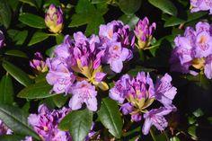Etuoven grandiflora