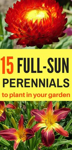 Perennials for Your Garden You don't have to worry about not having any shade to offer your plants - these perennials do best in full sun!You don't have to worry about not having any shade to offer your plants - these perennials do best in full sun! Full Sun Shrubs, Full Sun Perennials, Full Sun Plants, Best Perennials, Sun Loving Plants, Full Sun Container Plants, Container Gardening, Flowering Bushes Full Sun, Herbaceous Perennials