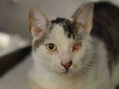 06/17/15 SL~~~URGENT !!!! STARVING FOR LOVE IBERIUS – ID#A1037567 JUST ADDED!! IBERIUS - A1037567 - Manhattan MANHATTAN CENTER IBERIUS - A1037567 NEUTERED MALE, WHITE / BRN TABBY, DOMESTIC SH MIX,7 yrs STRAY - ONHOLDHERE, HOLD FOR EVICTION Reason ABANDON Intake condition EXAM REQ Intake Date 05/26/2015, From NY 10466, DueOut Date You can call (212) 788-4000 for automated instructions.