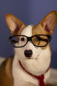 submitted by katherine  clark kent corgi? super nerd? i dunno. this photo was totally inspired by his massive overbite, but he looks pretty super in the photo.