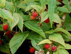 Raspberry bush - edible plants for Leopard Tortoise (leaves & flowers)