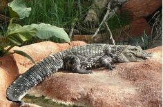 T'atreveixes a visitar una granja de cocodrils? Sortirambnens et proposa La ferme aux crocodiles, a Pierrelatte. #sortirambnens