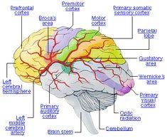 medial surface of the brain cranial arteries   Anterior artery circulation (carotid artery)