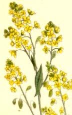 Isatis tinctoria, Woad. Blue dye, shapeshifting, sore throats, fevers, antiseptic, poultice for skin ulcers and bleeding. Edible.