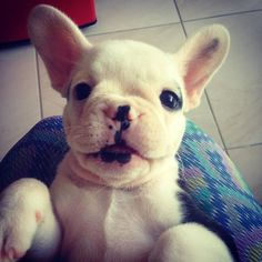 Boa noite pessoal! Bons sonhos 🐶🙏🏻💤 #instadog #bulldogfrances #frenchie… Baby Animals, Funny Animals, Cute Animals, French Bulldog Pictures, Zee Dog, Critters 3, Mixed Breed, Dogs And Puppies, Doggies