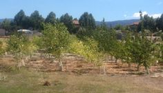 Probiotics Help Poplar Trees Clean Up Toxins in Superfund Sites
