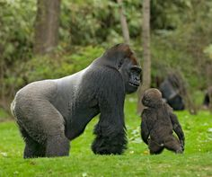 Western Lowland Gorillas. Adult male and baby. Photo by Albert Valentino.