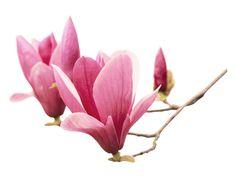 Vinilo adhesivo Magnolia, refinamiento y elegancia