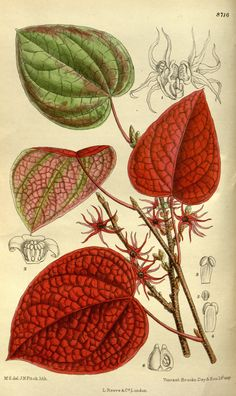 Disanthus_cercidifolia