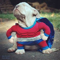 BaggyBulldogs – All about English Bulldogs - Tap the pin for the most adorable pawtastic fur baby apparel! You'll love the dog clothes and cat clothes! <3