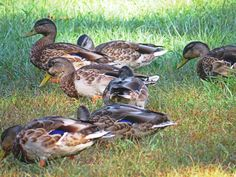 https://flic.kr/p/MbmBT9 | It's social hour as the ducks search for food. | The…