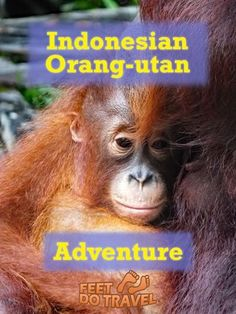 Viewing orangutans in the Indonesian jungle is an adventure and should be on everyone's bucket list. It's an incredible experience and one the Feet would like to share with you.