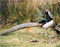 Lady Amhurst Pheasant  Hybrid Pheasant-The Golden Phesant has commonly been crossed with the similar Lady Amherst's Pheasant. The result is a hybrid with distinguished colors from its parents.