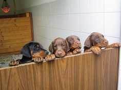 The Doberman Pinscher is among the most popular breed of dogs in the world. Known for its intelligence and loyalty, the Pinscher is both a police- favorite Doberman Colors, Doberman Love, Doberman Pinscher Puppy, Doberman Puppies, Corgi Puppies, Puppy Litter, Teach Dog Tricks, Puppy Drawing, Dog Grooming Business