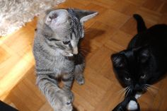 #Tiger and #Tom loves to #play with the #camera strap. So Cute! #cats #part3