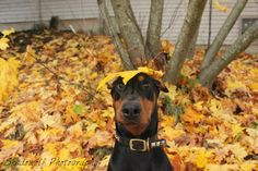 Great picture of a Dobe and the colors are awesome.