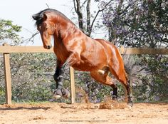 Matutino a striking, handsome, and ideally built bay gelding boasting three very correct gaits and a loving, eager to please temperament. He is super concentrated in his work and takes pleasure in his training, complimenting his looks with exceptional rideability. Because of his wonderful temperament and eagerness, he is recommended to competent amateurs despite his young age. Age, American, Handsome, Training, Horses, Beautiful, Instagram, Animals, Animales