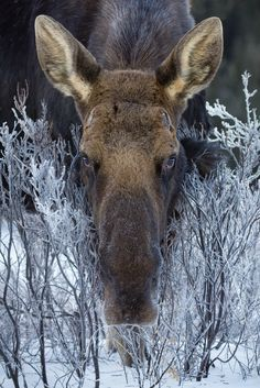 Moose in frost-covered brush.