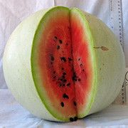 Navajo Winter Watermelon: Round, pale green fruits with slight striping. Pale pink to red flesh.