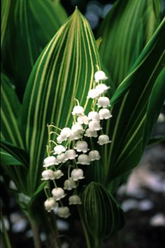 "Lily-of-the-valley ""Albostriata""  6""-9"" tall and spreading"