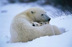 This mother polar bear coils her body around her young cubs of the year as they wait for the sea ice to freeze. The biggest threat to polar bear cubs at this vulnerable age is the threat of male polar bears. Photo/Caption by Source Animals And Pets, Baby Animals, Cute Animals, Large Animals, Wild Animals, Bear Cubs, Grizzly Bears, Tiger Cubs, Tiger Tiger