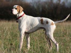 White Pointer Dog | English Pointer dog