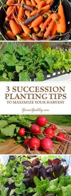 The goal of succession planting is to make the most of your garden space and keep the beds growing and producing fresh harvests. Learn different ways you can maximize your growing season.