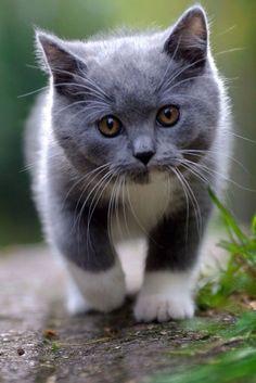 gray & white kitten More